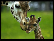 The birth of a Baby Giraffe – Inspiring story on Love.